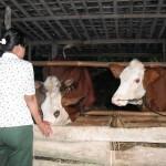 Buntut Bantuan Sapi, Kang Nur Sarankan LSM Koordinasi DPRD dan Kejaksaan