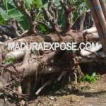 Penebangan Liar di Desa Pabian, Pelakunya disinyalir Oknum Kades