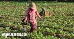 PT Djarum Tetapkan Kuota Pembelian Tembakau Madura