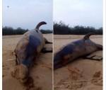 Ikan ini terdampar di Pantai Madura