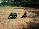 Babinsa Ganding Bantu Petani Kedelai