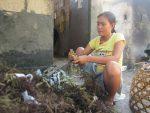 99 Hari Kerja Bupati Sumenep, Petani Rumput Laut Menjerit...!!!