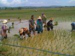 Babinsa Desa Nambakor, Koramil 0827/06 Saronggi  Bantu Petani Tanam Padi