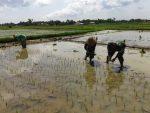 Babinsa Medelan Bantu Swasembada Pangan Di Desa Binaan