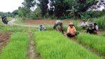 Babinsa Desa Pakondang, Koramil 0827/13 Rubaru  Bantu Petani Cabut Bibit Padi