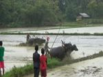 Warga Kangean, Awali Masa Tanam Dengan Karapan Kerbau Lumpur