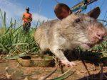 Mengerikan, Ternyata Gililabak  Itu Pulau  Tikus