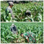 Babinsa Ketawang Karay Ganding Dampingi Petani Jagung