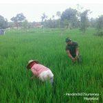 Wujudkan Ketahanan Pangan, Anggota Ramil 0827/15 Batuputih Bantu Warga Cabuti Rumput