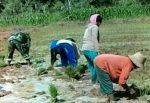 Pendampingan Penanam Padi Serta Pengawasan Oleh  Babinsa Ramil Dasuk