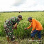 Anggota Koramil Kalianget Dampingi Petani Cek Tanaman Padi