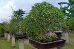 Dulu Kawasan Kumuh, Kini Jadi Kebun Bonsai di Kota Depok